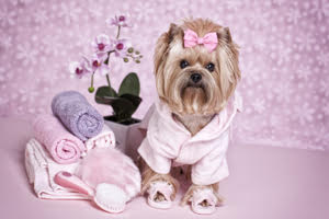 Yorkshire Terrier day at the spa